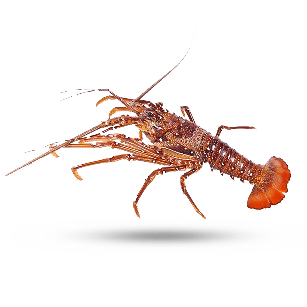 West Aussie Lobster
