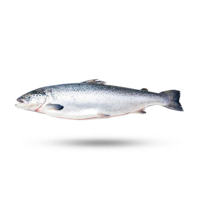 atlantic salmon 1