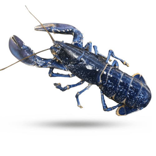 FRENCH BLUE LOBSTERS